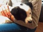 Фотография в   Отдам щенка в добрые руки. Возраст 1. 5 месяца. в Пензе 0