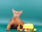 Изображение в Кошки и котята Вязка Предлагаем для вязки-Абиссинкого клубного в Москве 2500