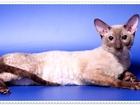 Изображение в Кошки и котята Вязка Предлагаем для вязки-Корниш рекс клубного в Москве 3000