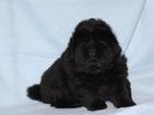 Изображение в Собаки и щенки Продажа собак, щенков Предлагаются щенки породы – ЧАУ-ЧАУ. У нас в Москве 30000