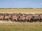 Новое изображение  Продаю племенных овец эдельбаевской породы, 37760259 в Москве