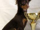 Изображение в Собаки и щенки Продажа собак, щенков Продаётся шоколадный мальчик русского той в Москве 13000