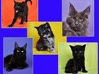 Фото в Кошки и котята Продажа кошек и котят Хотите завести себе эксклюзивное домашнее в Санкт-Петербурге 35000
