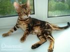 Фото в Кошки и котята Продажа кошек и котят Предлагаю шикарную бенгальскую девочку. Окрас в Москве 10000