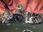 Фотография в Кошки и котята Продажа кошек и котят Предлагаю к резервированию котят шотландской в Москве 15000