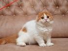 Фотография в Кошки и котята Продажа кошек и котят Продается очаровательная шотландская вислоухая в Москве 0