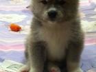 Фото в   Продаются прелестные щенки Акита-ину. Рождены в Кирове 45000