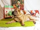 Фото в Собаки и щенки Продажа собак, щенков Предлагаем на продажу двух великолепных щенков в Москве 35000