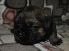 Фото в Собаки и щенки Продажа собак, щенков Питомник РКФ-FCI предлагает щенков бордер в Москве 0
