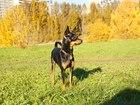 Фото в Собаки и щенки Вязка собак Молодой, активный, кабель ищет пару для вязки. в Москве 0