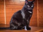 Фото в   Ищет дом шикарная кошка в черной шубке с в Москве 0
