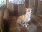 Изображение в Собаки и щенки Вязка собак Добрый, игривый кобель, 3 года ищет невесту в Москве 1000