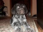 Изображение в Собаки и щенки Продажа собак, щенков Желающим заполучить семейную драгоценность! в Москве 25000