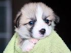 Фотография в Собаки и щенки Продажа собак, щенков Племенной питомник «Альтера Парс» предлагает в Москве 70000