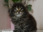 Изображение в   Питомник кошек породы мейн кун STARSQUALITY в Москве 129346