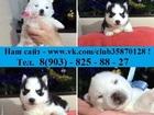 Изображение в Собаки и щенки Продажа собак, щенков Блистательные щеночки хаски в продаже!   в Москве 0