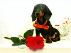 Фото в Собаки и щенки Продажа собак, щенков Предлагается к продаже щенок породы такса в Москве 14000