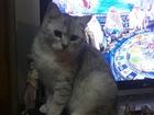 Фото в Кошки и котята Вязка Кот Британец, окрас ns 11 (серебристая шиншилла)приглашает в Мытищи 1000