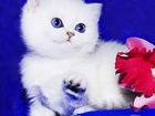 Фото в Кошки и котята Продажа кошек и котят Московский профессиональный питомник   элитных в Москве 0