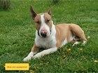 Скачать фотографию Вязка собак Кобель для вязки 38305012 в Москве