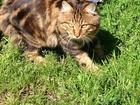 Изображение в Кошки и котята Вязка Кот Ch (WCF)Курильский бобтейл приглашает в Москве 3500