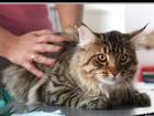 Изображение в   Молодой кот , (1, 5), привит по возрасту, в Москве 5000