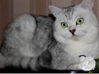 Фото в   Молодой, британский серебристый кот (ns 24). в Москве 2000