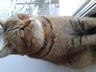 Изображение в Кошки и котята Вязка Клубный кот шотнский страйтокраска золотая в Москве 0