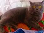 Свежее фотографию Вязка Вязка обаятельный шотландский кот с родословной) 38385600 в Москве