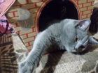 Увидеть foto  Отдаю в добрые и заботливые руки своего любимого Шотландского годовалого кота, 38410737 в Ногинске