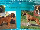 Фотография в Собаки и щенки Продажа собак, щенков Питомник немецких боксеров предлагает к продаже в Москве 30000
