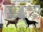 Изображение в Собаки и щенки Продажа собак, щенков Продаются щенки лабрадора от элитных родителей в Москве 26000