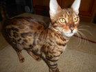 Фотография в Кошки и котята Продажа кошек и котят Молоденькая не стерилизованная бенгалочка в Москве 18000