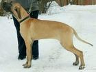 Изображение в Собаки и щенки Продажа собак, щенков Щенок ПАЛЕВОГО немецкого дога, 7 месяцев, в Москве 60000