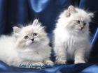 Фотография в Кошки и котята Продажа кошек и котят Московский питомник Невских Маскарадных кошек в Москве 0