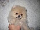 Фото в Собаки и щенки Продажа собак, щенков Щенки мальчик 15тыс, дев. 25тыс, со всеми в Москве 15000