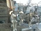 Западно-сибирская лайка фото в Москве