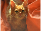 Фото в Кошки и котята Продажа кошек и котят Предлагаются настоящие, крупные котята породы в Москве 35000