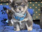 Фото в Собаки и щенки Продажа собак, щенков Плюша-медвежонок чихуа С Обаятельной мордочкой. в Москве 45000
