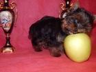 Фото в   Питомник Смол Бэби продает великолепных щенков в Москве 20000