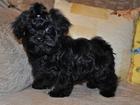 Фотография в Собаки и щенки Продажа собак, щенков Продаются щенки русской цветной болонки разного в Москве 15000