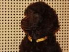 Фотография в Собаки и щенки Продажа собак, щенков Питомник МорошкаС предлагает щенков коричневого в Москве 25000
