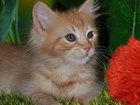 Фото в Кошки и котята Продажа кошек и котят Профессиональный питомник предлагает сибирских в Москве 0