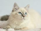 Фото в   Продается невский маскарадный котенок, дата в Москве 15000