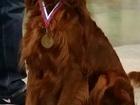 Фото в Собаки и щенки Продажа собак, щенков Продаются щенки Ирландского сеттера в Москве. в Москве 30000