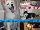 Изображение в Собаки и щенки Продажа собак, щенков ХАСКИ чистокровных щеночков, а также взрослых в Москве 5000