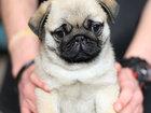 Изображение в Собаки и щенки Продажа собак, щенков Племенной питомник «Альтера Парс» предлагает в Москве 50000