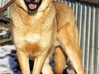 Изображение в Собаки и щенки Продажа собак, щенков Рыжему красавцу Лёлику всего 1, 5 года (период в Москве 0