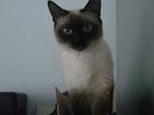 Смотреть фотографию Вязка Ищем сиамского кота для вязки, 38979996 в Москве