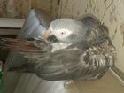 Уникальное фото  Приму в дар большого попугая в любом состоянии 39003353 в Москве